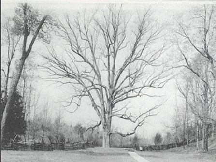 Boundary Oak Tree