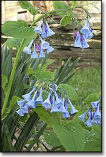 Bluebell wildflowers in front of Knob Creek Cabin