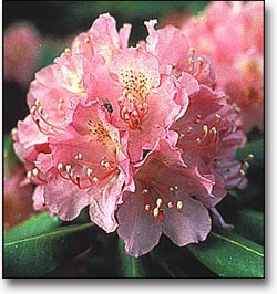catawb rhododendron