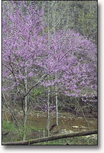 Redbud trees during the spring along Knob Creek