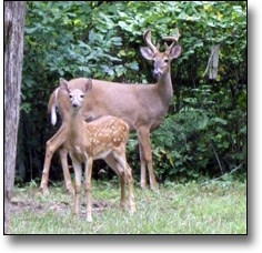 A white-tailed deer family that roams the park.