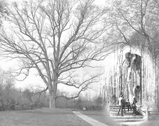 Picture of the Boundary Oak Tree that marked the corner boundary of the Sinking Spring Farm that Thomas Lincoln purchased in the fall of 1808.