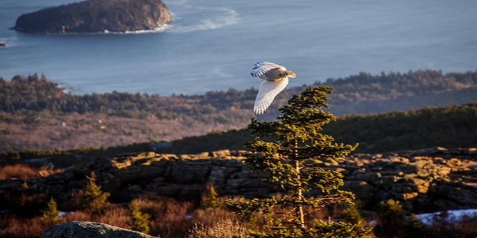 Snowy owl takes flight.