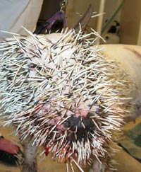 Dog with numerous porcupine quills in face