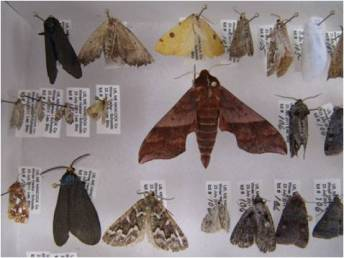 Moths from BioBlitz
