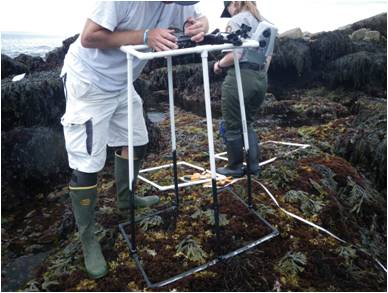 Intertidal algae study plot