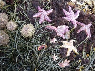 Seastars on rockweed