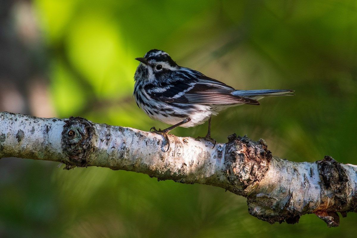 A black-and-white warbler (Mniotilta varia) perches on a branch.