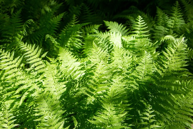 Detail of ferns growing in a bunch