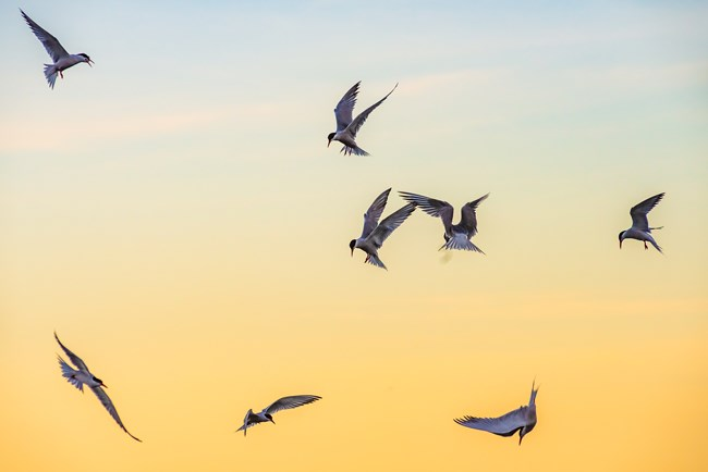 Common terns hover above the ocean in search of a meal