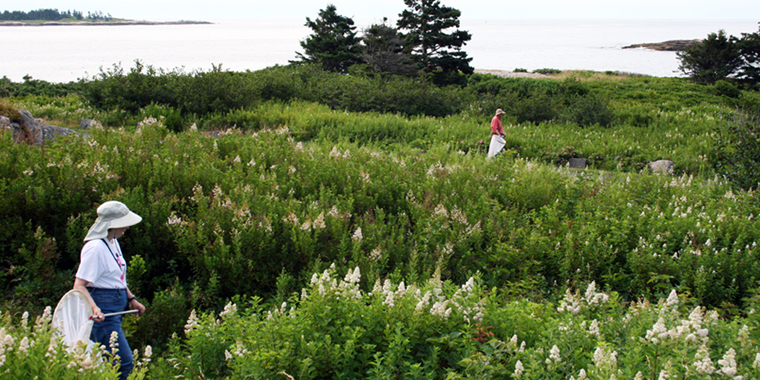 Volunteers look for butterflies and moths along the shores of the Schoodic Peninsula during the 2011 Bioblitz.