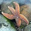 Sea Star thumbnail