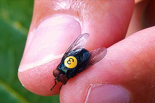 A numbered fly is held in the hand of a researcher. Photo by Peggy Grub, USDA.