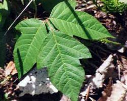Distinctive poison ivy leaves