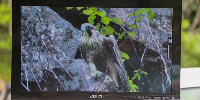 Peregrine falcon as seen through a scope on a television.