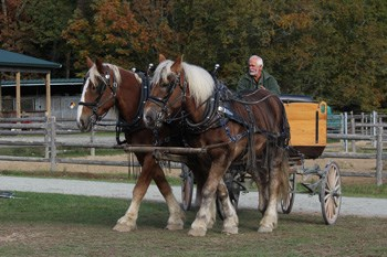 Two large draft horses pull a wagon with a single driver