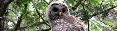 Owl stares out from evergreen tree