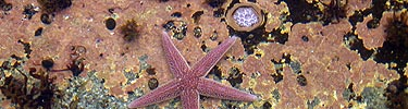 Pink seastar sits in tidepool.