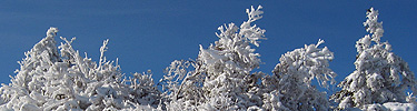Snowy evergreens against a blue sky