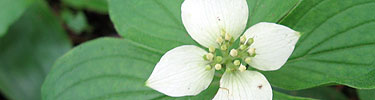 White flower surrounded by green leaves