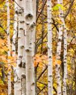 Orange leaves and birches