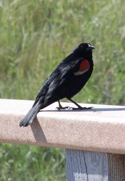 The Red-winged blackbird lives along the Niobrara River in the spring and summer.