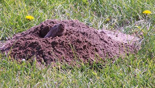 Pocket Gophers live most of the time underground.  They mound dirt over their holes.