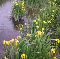 This Iris was planted at the Agate Springs Ranch and has traveled down river through the park and beyond.