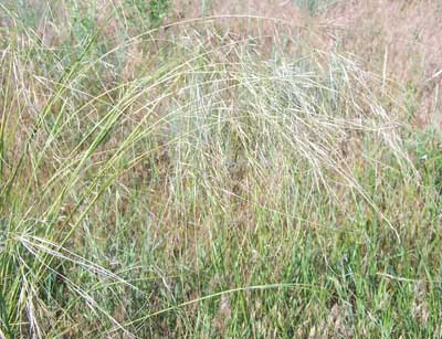 Needle and thread grass, one of the many grasses in the prairie.