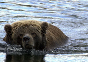 A brown bear takes a swim.