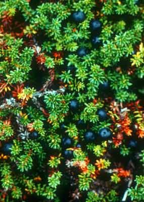 Crowberries along the Alagnak and are a common part of bears' diet.