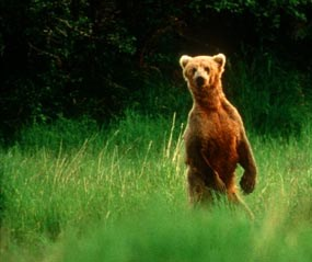 A brown bear may stand on its hind legs when attempting to identify you.