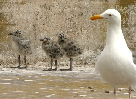 A Western gull guards her brood