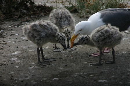 Gull feeding chicks