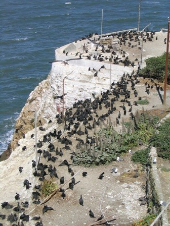 bird's eye view of a Brandt's cormorant nesting colony