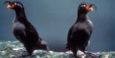 USFWS photo of a pair of whiskered auklets on Unalaska Island