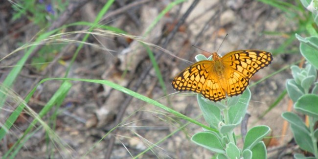 Close-up of variegated fritillary (butterfly) on cenizo.