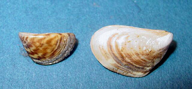 zebra and quagga mussel