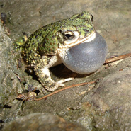 eastern greed toad