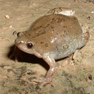 Great Plains Narrowmouth Toad