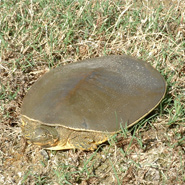 Texas Spiny Softshell