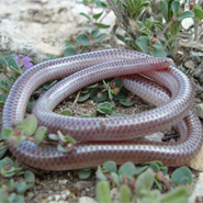 Texas Thread Snake