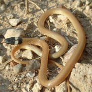 Trans-pecos Blackheaded Snake