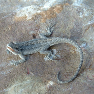 Big Bend Tree Lizard