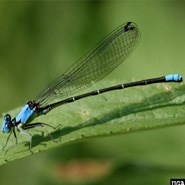Blue Fronted Dancer Damselfly