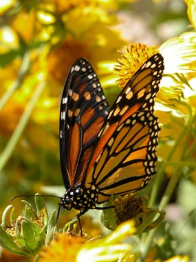 Monarch butterfly feeds on a cowpen daisy.