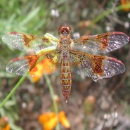 Low Flying Amber Wing Dragonfly