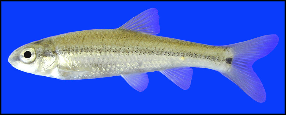 manantial roundnose minnow