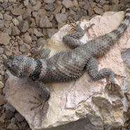 Northern Crevice Spiny Lizard