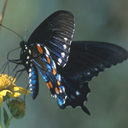 Pipevinve Swallowtail